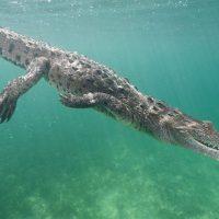 ¿Cocodrilo o crocodilo? Datos interesantes...